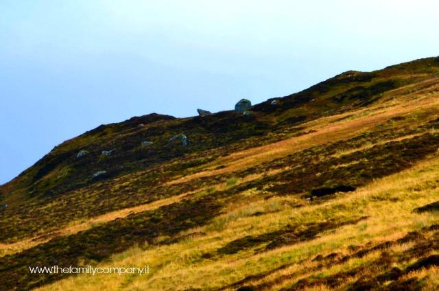 highlands scozzesi con bambini