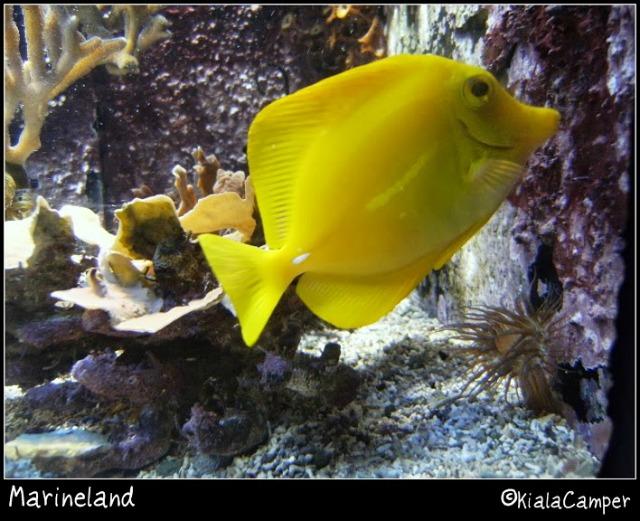 marineland pesciolino giallo