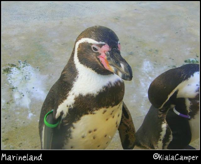 marineland pinguini