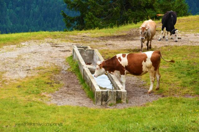 mucche d'alpeggio malga paganella