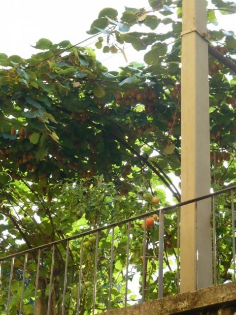 Pomodori sul tetto