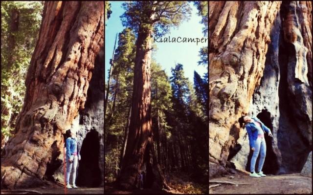 Le Sequoie: ma dove arrivano?