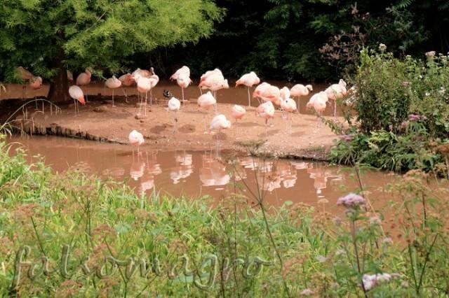 Paignton zoo: i fenicotteri cileni