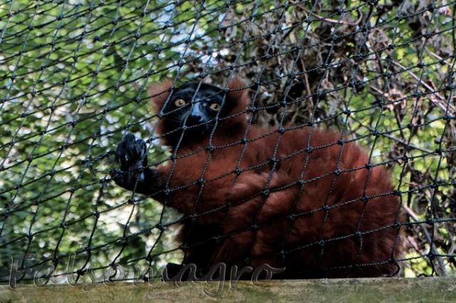 Paignton zoo: sul ponte dei lemuri