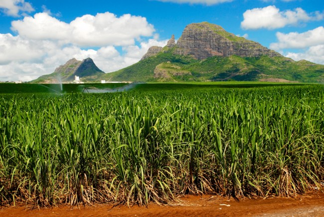 mauritius campi di zucchero, mauritius con bambini