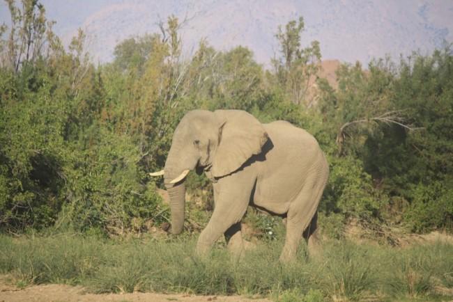 elefante avvistato in solitaria alle 6 del mattino nel branderberd