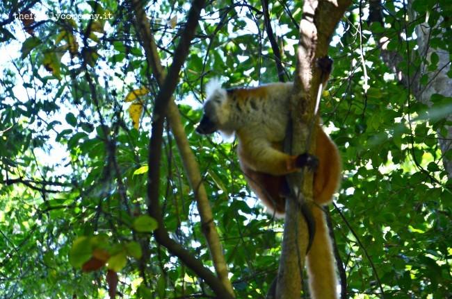 macaco lemure