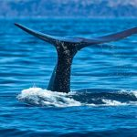 Whale watching all'Isola di Faial – Azzorre