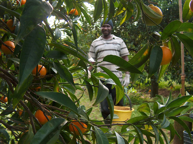 Turismo solidale con i bambini: a raccogliere arance in Calabria