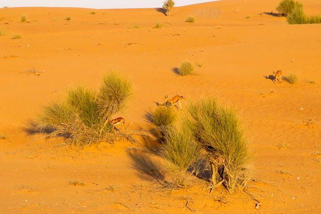 Gazzelle nel deserto. Foto Roberto Savioli