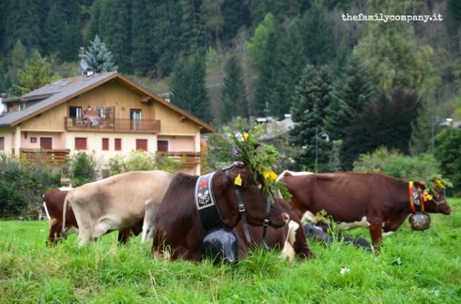 mucche predazzo